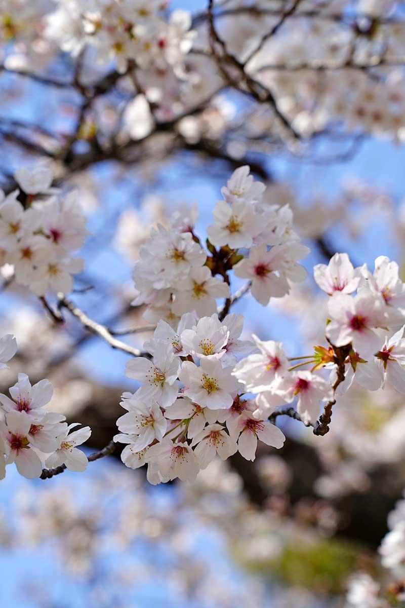 桜の木と満開に近い花