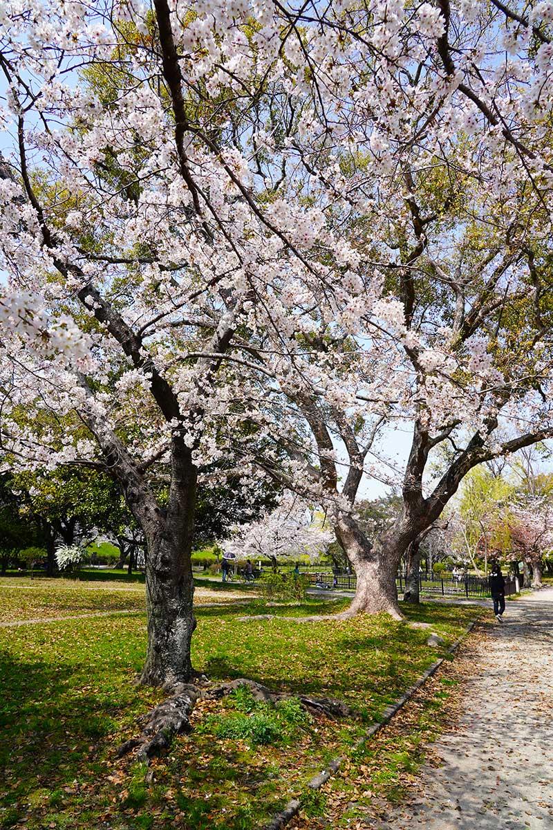 桜の木(満開)
