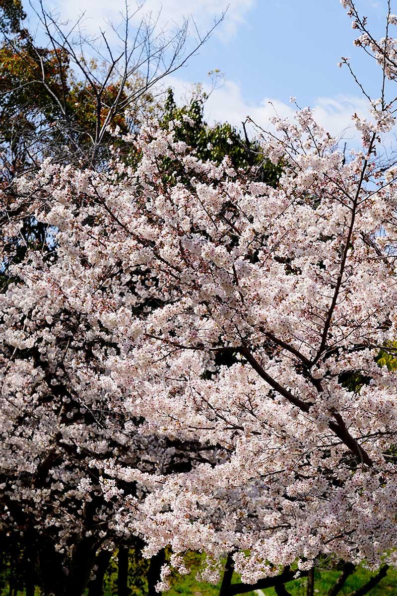 太陽に当たり綺麗な桜の花