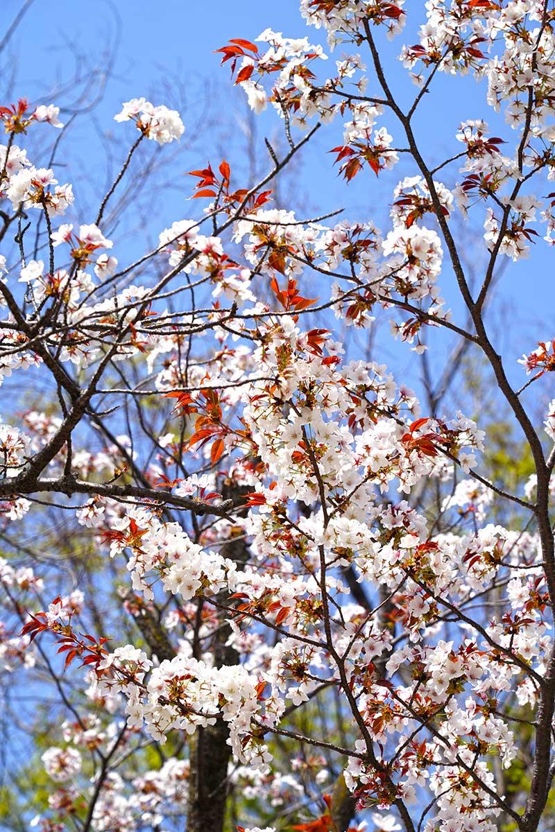 花が散り始めた桜の木