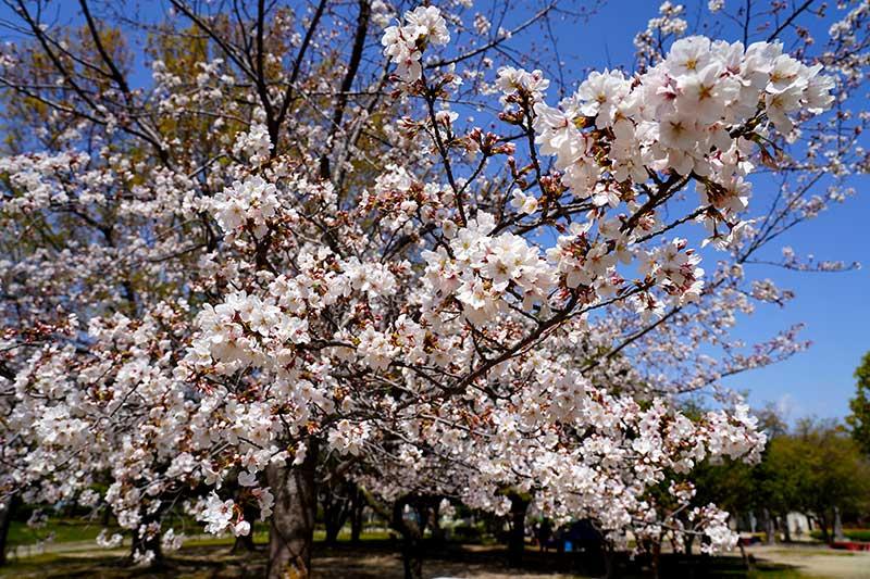 遊具エリア付近の桜の開花