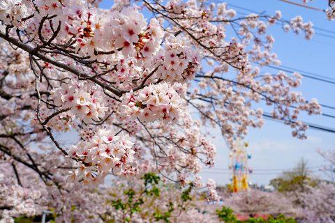 【写真】王子動物園の桜 / 2021年04月