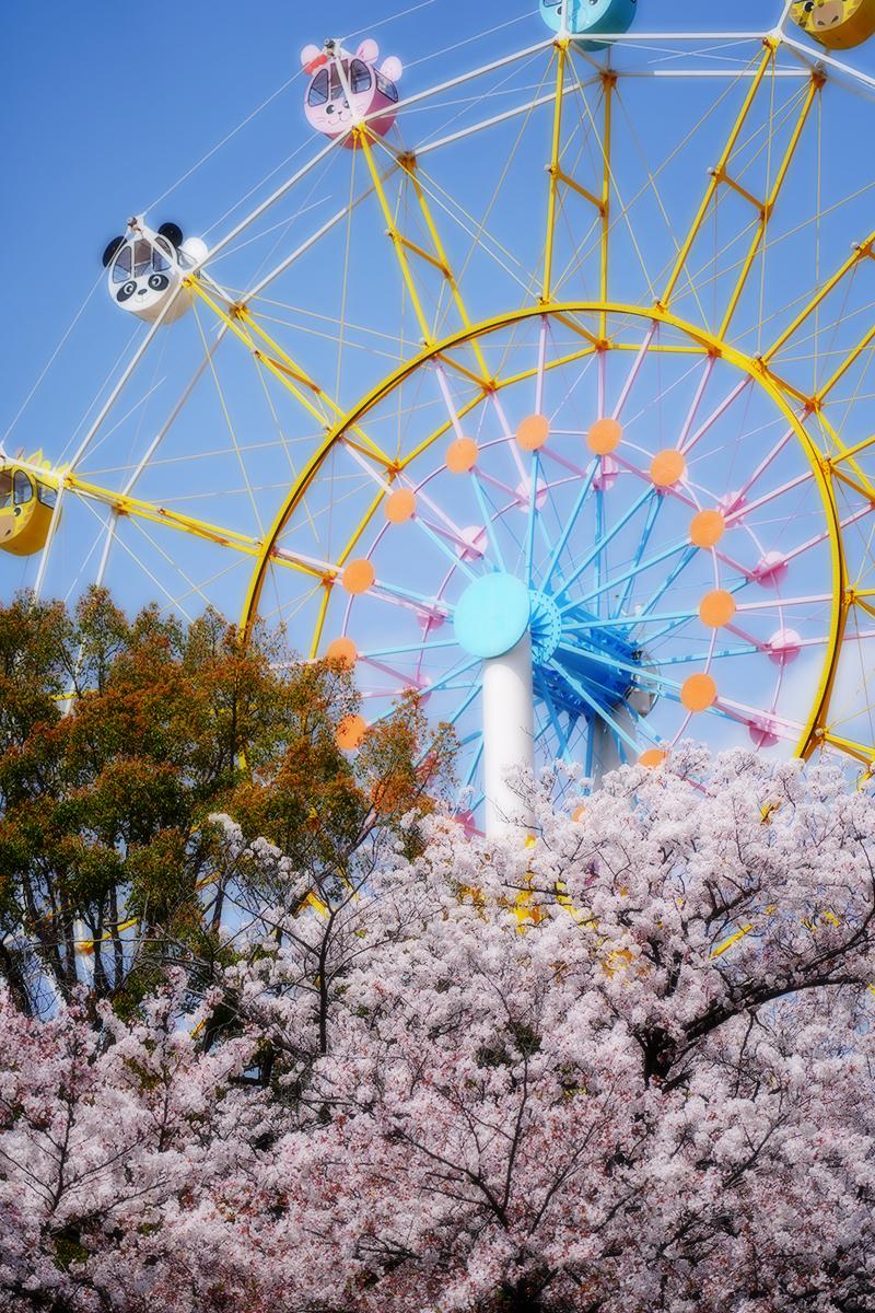 王子動物園・駐車場からの桜