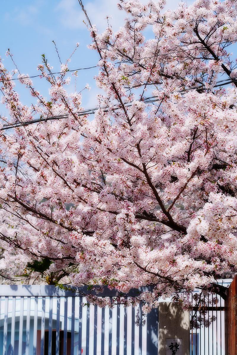 王子動物園・駐車場の桜