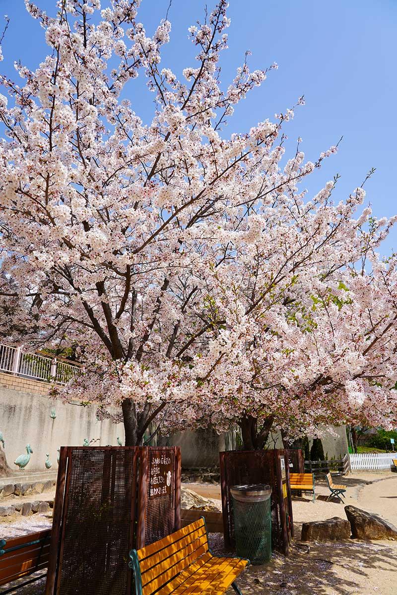 ふれあい広場ふの桜