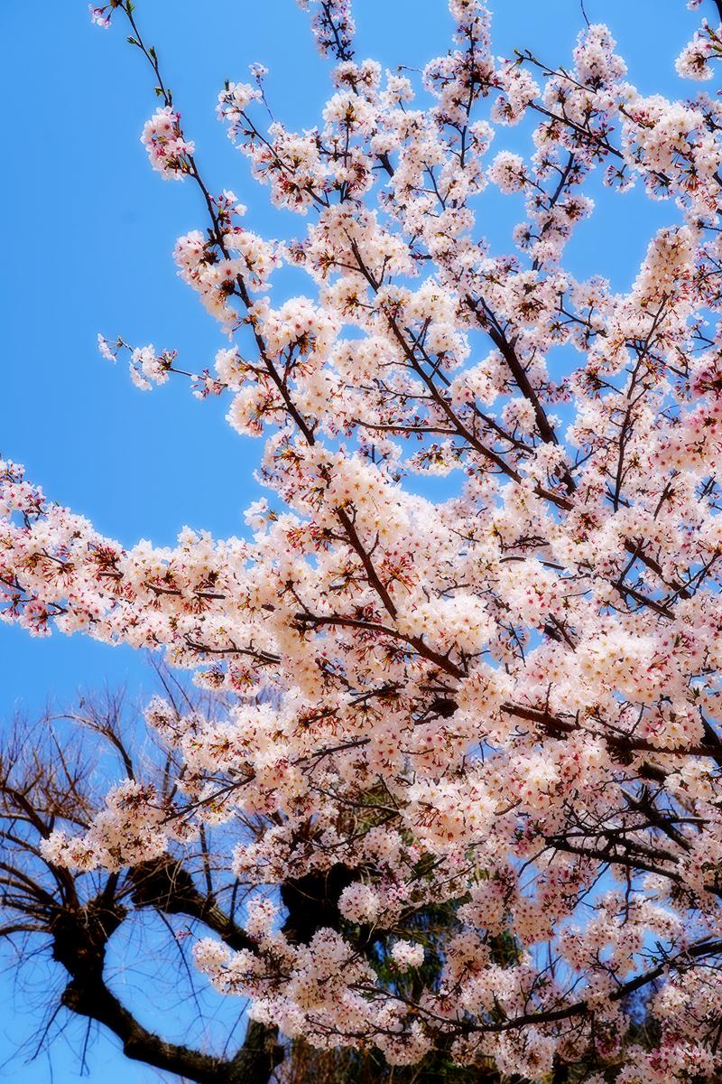 王子動物園・触れ合い広場の桜