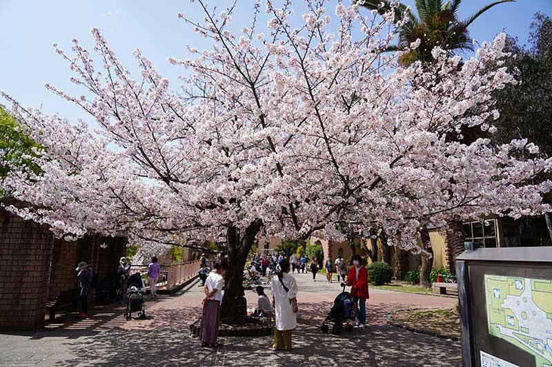 コアラ館の前の桜