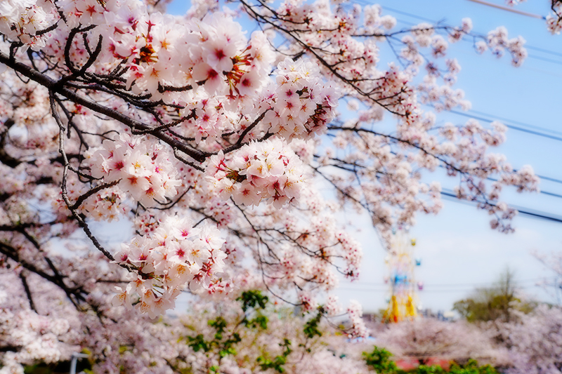 王子動物園・桜と遠くに見える観覧車