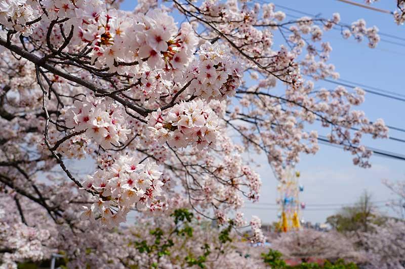 綺麗な桜と遠くに見える観覧車