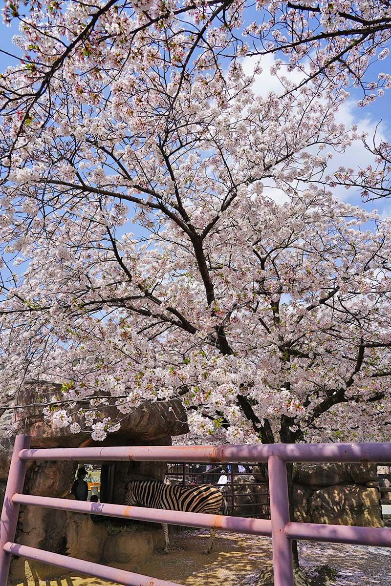 シマウマと桜