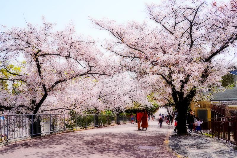 王子動物園・順路の桜