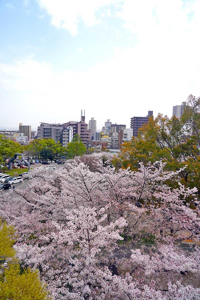桜が綺麗に見える