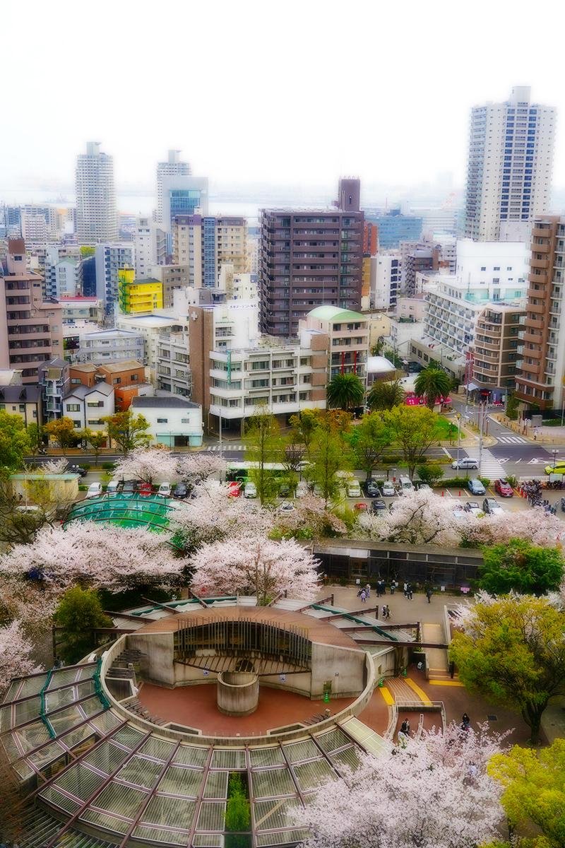 王子動物園・観覧車からの桜