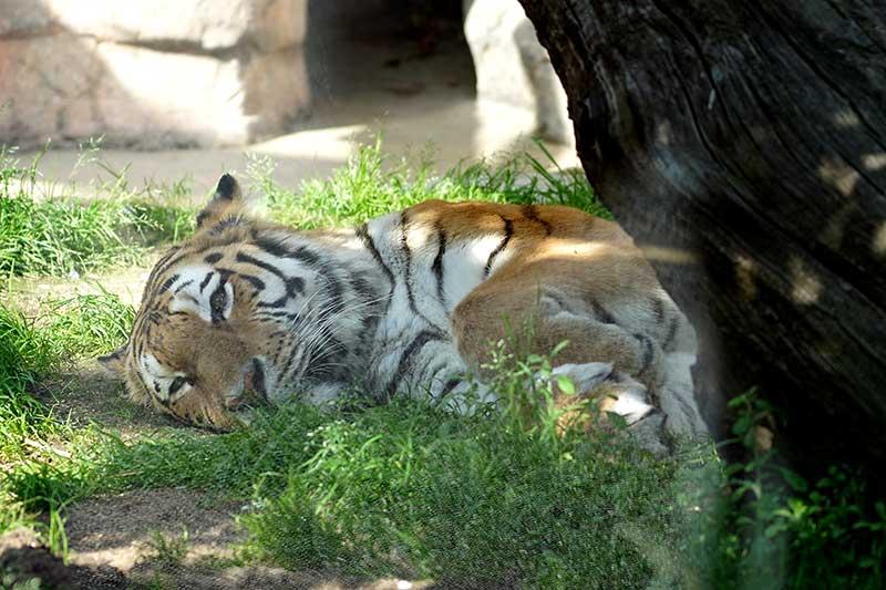 グッタリする虎