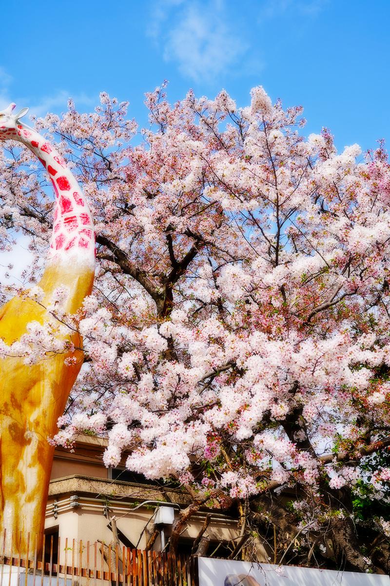 王子動物園・帰り道の桜